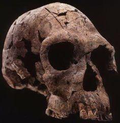 Homo habilis - KNM-ER 1813
