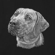 Ridgeback - Scratchboard Art. Copyright Sue Walters 2015. Actual size. I've found with scratchboard that very fine detail can be achieved on small pieces. I'm presently working on a dog memorial for a pendant, only an inch high.