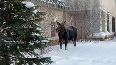 The snow doesn't stop a moose! This big guy was spotted recently in Summit County, just having a stroll through the snow! Road Trip To Colorado, Summit County, Elk, Moose, Scenery, Snow, Outdoor, Outdoors, Paisajes