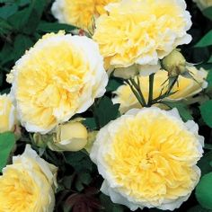 The Pilgrim English rose, sold by David Austin (own root)  hardy 4-1/2x3 or 8'climber double yellow fragrant bloom