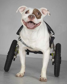 A therapy pit bull on wheels. #pitbull