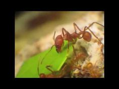 Videos of Leafcutter Ants Show Their Division of Labor – Entomology Today