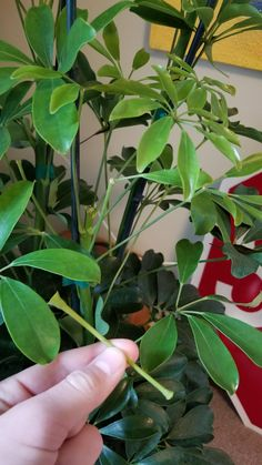 Stalks and leaves of my hawiian schefflera are falling off of my plant at the slightest touch. Horticulture, Autumn Leaves, Plant Leaves, Landscaping, Roses, Gardens, Touch, Fall, Pictures
