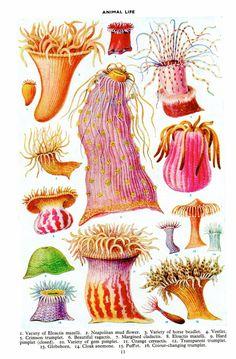 SEA ANEMONES and Sea Jellies print, 1950s botanical print of flowers of the sea, ocean decor, beach decor