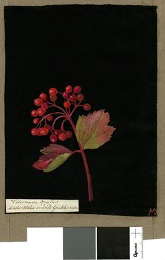 Virburnam Opulus (Pentandria Trigynia), from an album (Vol.IX, 81); Water elder or wild guelderrose. 1776  Collage of coloured papers, with bodycolour and watercolour, on black ink background