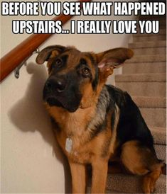"""German Shepherd Funny Refrigerator magnet 3 """" x 4 Funny Baby Quotes, Funny Dog Memes, Funny Dogs, Cute Dogs, Memes Humor, Funny Captions, Dog Humor, Baby Jokes, Dog Funnies"""