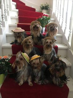 Stunning hand crafted yorkshire terrier accessories and jewelery available at Paws Passion Shop! Yorkies, Cute Puppies, Cute Dogs, Poodle Puppies, Yorkie Cuts, Yorshire Terrier, Sweet Dogs, Dog Haircuts, Yorkshire Terrier Puppies