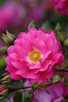 kendrasmiles4u:  Flower Carpet Pink rosekendrasmiles4u