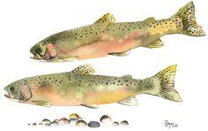 "ORIGINAL Watercolor Fish Painting / ""Steelhead Courtship"" / Steelhead Trout. $210.00, via Etsy."