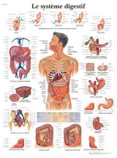 Poster Systeme Digestif