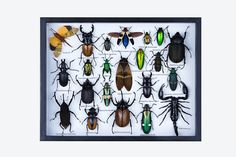 Insect Taxidermy pic from www.bugsdirect.com