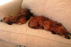 Found Dog - Dachshund - San Antonio, TX, United States 78260 on April 10, 2014 (13:00 PM)