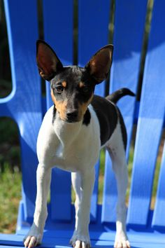 Rat Terriers can climb all our your furniture. Rat Terrier Puppies, Fox Terriers, Terrier Breeds, Cute Puppies, Cute Dogs, Dogs And Puppies, Small Dog Breeds, Small Breed, Pet Puppy