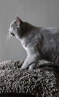 Joep (Blue British Shorthair) by LIEFS LIA at Ifoundmyhome.blog.