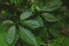 Ženšen pětilistý, zdroj: wikipedie.cz Zen, Bountiful Garden, Tree Seeds, Clay Soil, Edible Plants, Growing Herbs, Salvia, Medicinal Plants, Planting Seeds
