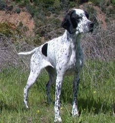 english pointer dog photo | English Pointer, English Pointers, Breed