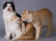 Gato American Curl http://www.mascotadomestica.com/razas-de-gatos/gato-american-curl.html