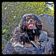 Cecil, #Cavalier King Charles #Spaniel on Wind Mountain in the Columbia River Gorge near Cascade Locks, Washington State.