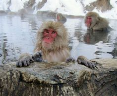 Japanese Snow Monkeys relaxing in a hot spring