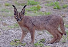 Caracal youngster