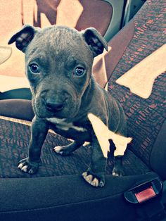 #first #photo #for #little #amstaff #blue #eyes #cute #new #member