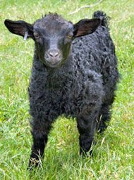 Pygora Livestock