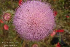 #Flor #Cardo