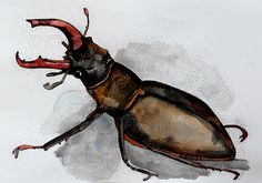 stag beetle. original illustration on paper.