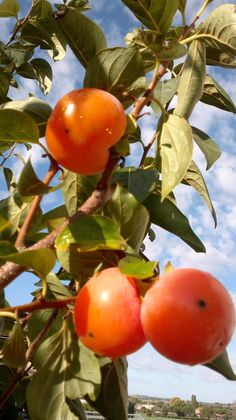 Persimmons, Umbria, Italy