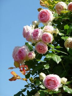 #Rosierblanc #PierredeRonsard #Rosierbicolore #Parfum #Rose #Eden #Edenclimber #Romantique #Deco #Jardin #Bouquet Pretty Roses, Beautiful Roses, Old English Roses, Eden Rose, Blossom Garden, David Austin Roses, Oil Painting Flowers, Rose Wallpaper, Climbing Roses