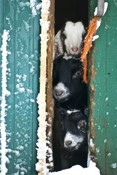 Goats peeking out into the snow. I'm not going our there first, you go. No, you go, etc.