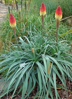 Kniphofia caulescens tubular coral red and yellow blooms. Kniphofia caulescens tubular coral red and Red Hot Poker Plant, Late Summer Flowers, Mailbox Landscaping, Modern Landscaping, Landscaping Ideas, Backyard Ideas For Small Yards, Back Garden Design, Herbaceous Border, Agapanthus