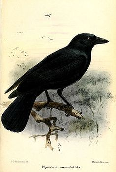 The New Caledonian Crow (Corvus moneduloides) is a tool-using species of crow endemic to New Caledonia. These crows are able to make hooks,[2] an ability that not even our closest relative, the chimpanzee, has mastered. This species is not just famous for its tool-making abilities. These crows have also solved a number of sophisticated cognitive tests which suggest that this species is particularly intelligent[3][4][5] Taylor et al. 2010, Taylor et al. 2012). Due to these findings this…