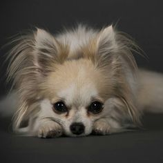 Chihuahua...I want one like this. Or two. Or five.