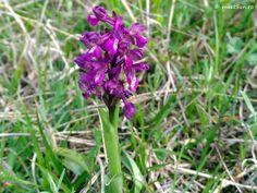 floare mov Centaur, Clematis, Indigo, Plant, Indigo Dye