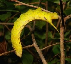 https://flic.kr/p/DRkzwh | Mango Hawk Moth Caterpillar (Amplypterus panopus, Sphingidae), yellow form | Pu'er, Yunnan, China  see comments for additional view and adult hawk moth.....