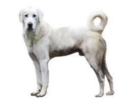Akbash Dog.  My next dog.