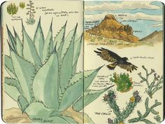 Big Bend cactus sketches by Chandler O'Leary