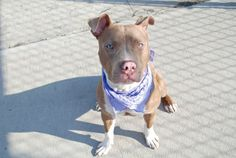 Brooklyn Center   BIG MAN - A0998358  MALE, TAN, PIT BULL MIX, 1 yr, 2 mos STRAY - STRAY WAIT, NO HOLD Reason STRAY  Intake condition NONE Intake Date 05/01/2014, From NY 10458, DueOut Date  https://www.facebook.com/photo.php?fbid=797462313599983&set=a.617941078218775.1073741869.152876678058553&type=3&theater