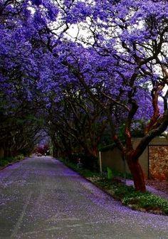 Este es una acera con muchos árboles en Guadalajara. La ciudad tiene muchas árboles bellas. Los turistas gustan a ver la colores en Guadalajara. Los árboles se llamen Jacaranda.