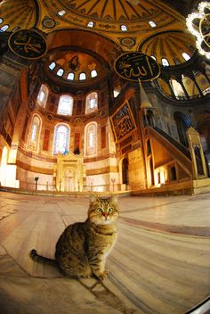 """the """"Hagia Sophia"""" (Istanbul) Cat : His name is Gli and he's very cross-eyed. President Obama petted him on a visit to Istanbul and Gli has been famous since. Crazy Cat Lady, Crazy Cats, Big Cats, Cats And Kittens, Cute Cats, Hagia Sophia Museum, Animals And Pets, Cute Animals, Amor Animal"""