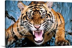 Siberian Tiger, Bengal Tiger, Tiger Fotografie, Big Cats, Cool Cats, Beautiful Cats, Animals Beautiful, Photo Tigre, Tiger Attack