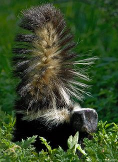 Skunk - the smelliest animal Wild Creatures, All Gods Creatures, Baby Animals, Funny Animals, Cute Animals, Beautiful Creatures, Animals Beautiful, Baby Skunks, Animals Of The World