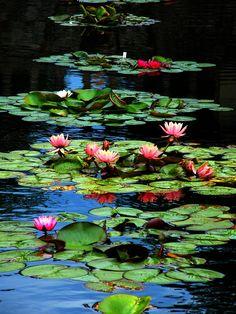 Waterlelies More