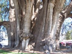 El Árbol del Tule (Spanish for The Tree of Tule). It is a Montezuma Cypress tree. It is reported to have the stoutest trunk of any tree in the world.