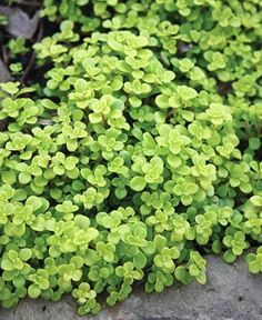 sedum makinio ogon- I know it doesn't look like much here but trust me you must get this plant- you will want it everywhere. It ties everything together with a vibrant yellow green. I keep transplanting bits and pieces in the hopes that i will have several nice clumps!
