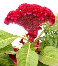 Celosia is genus of exotic-looking plants that come in many vibrant colours and unusual forms. Flower heads can be spiky like a rooster's comb, soft and fluffy like a feather plume or wrinkly like a brain!