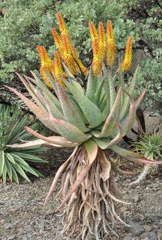 Aloe marlothii usually has its racemes more horizontal than this, but at any angle it is a beautiful sight! From northeastern South Africa. The Ruth Bancroft Garden / Walnut Creek, CA