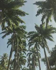 Beautiful palm trees reaching intocblue sky. Coco Reef Resort and Spa, Trinidad and Tobago. Flights+Barrels Travel Photography.