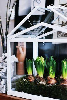 close up of bulbs in mini greenhouse/ Ikea Socker greenhouse Best Greenhouse, Greenhouse Wedding, Greenhouse Plans, Large Greenhouse, Indoor Garden, Indoor Plants, Outdoor Gardens, Garden Beds, Garden Plants